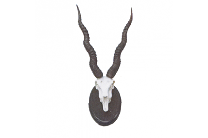 942570  Cuernas Antilope Negro Argentino Pareja 45x13cm